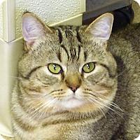 Domestic Shorthair Cat for adoption in Washougal, Washington - Olly
