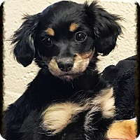 Spaniel (Unknown Type) Mix Puppy for adoption in Los Alamitos, California - Jinxie