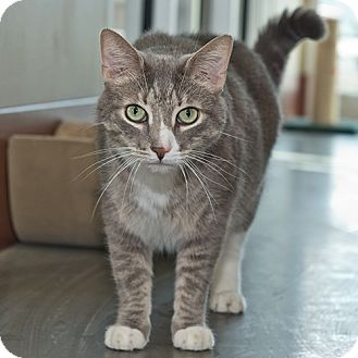 Domestic Shorthair Cat for adoption in Wilmington, Delaware - Boo Boo