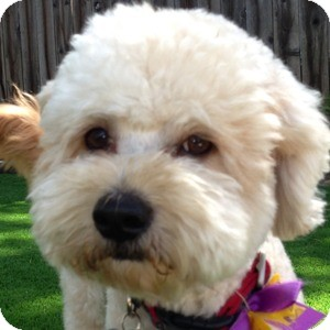 Bichon Frise Mix Dog for adoption in La Costa, California - Truffles