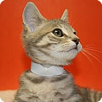 Adopt A Pet :: JACK - SILVER SPRING, MD