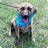 Adopt A Pet :: HANK - Glastonbury, CT