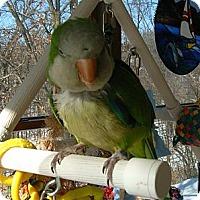 Adopt A Pet :: Oscar - St. Louis, MO