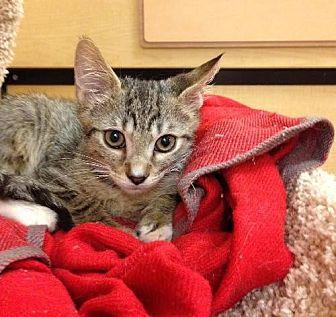 Domestic Shorthair Kitten for adoption in Miami, Florida - Michaelangelo