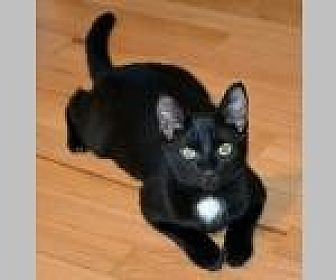 Domestic Shorthair Cat for adoption in Pittsboro, North Carolina - Ava