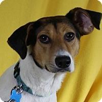 Adopt A Pet :: Amelia - Minneapolis, MN