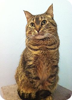 Domestic Shorthair Cat for adoption in St. Paul, Minnesota - Momo