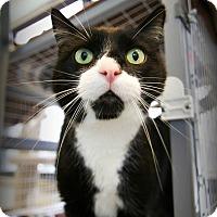 Adopt A Pet :: Puddin Pop - Grayslake, IL