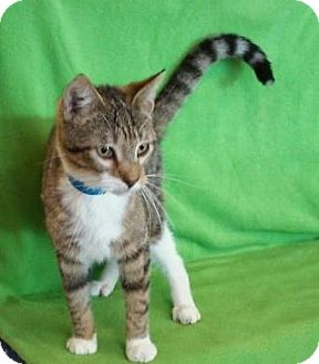 Domestic Shorthair Cat for adoption in Houston, Texas - Cary