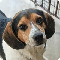 Beagle Dog for adoption in Rossville, Tennessee - Raphael
