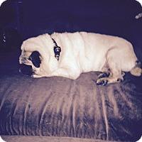 Adopt A Pet :: Morley - Austin, TX
