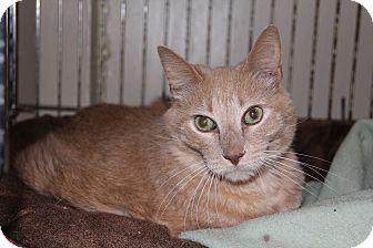 Domestic Shorthair Cat for adoption in Centerton, Arkansas - Dixon