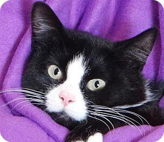 Domestic Mediumhair Cat for adoption in Renfrew, Pennsylvania - Ahnya