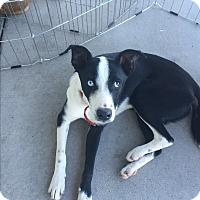 Adopt A Pet :: Charlie - San Angelo, TX