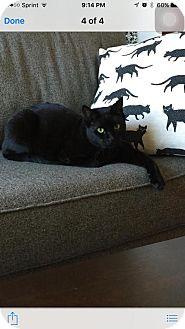 Domestic Shorthair Cat for adoption in Somerville, Massachusetts - Fred