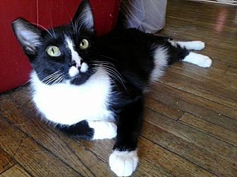 Domestic Shorthair Cat for adoption in Lancaster, California - Prince
