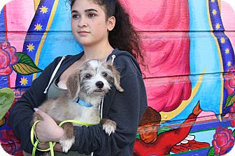 Spaniel (Unknown Type)/Terrier (Unknown Type, Small) Mix Dog for adoption in San Francisco, California - Foster