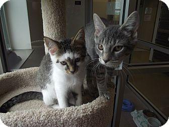 Domestic Shorthair Cat for adoption in Chambersburg, Pennsylvania - Sansa