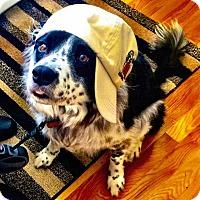 Border Collie Dog for adoption in Richmond, Virginia - Pan - Courtesy Listing