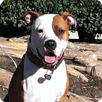 American Bulldog/Boxer Mix Dog for adoption in Lucasville, Ohio - Maggie Mae