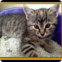 Domestic Shorthair Kitten for adoption in Tombstone, Arizona - Ida