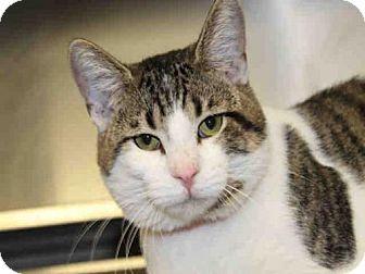 Domestic Mediumhair Cat for adoption in Chicago Ridge, Illinois - BELLO