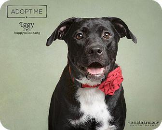 Labrador Retriever/Catahoula Leopard Dog Mix Dog for adoption in Chandler, Arizona - Iggy