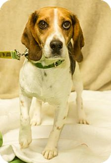 Beagle Mix Dog for adoption in South Haven, Michigan - Barney