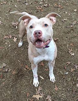 Catahoula Leopard Dog/Pit Bull Terrier Mix Dog for adoption in Charlotte, North Carolina - Latte