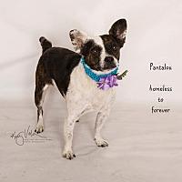 Bull Terrier/Pug Mix Dog for adoption in Arcadia, California - Pantalou