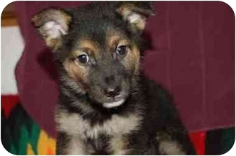 German Shepherd Dog Mix Puppy for adoption in Chula Vista, California - Benji