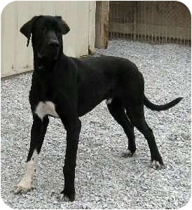 Logan | Adopted Dog | Bethel, OH | Great Dane/Bullmastiff Mix