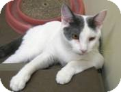 Domestic Shorthair Cat for adoption in West Dundee, Illinois - Lennon