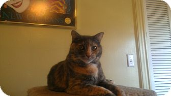 Calico Cat for adoption in Little Falls, New Jersey - Shadow (MP)