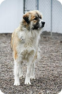 Great Pyrenees Mix Dog for adoption in Cambridge, Illinois - Bonnie