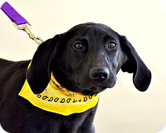 Labrador Retriever/Border Collie Mix Puppy for adoption in Sparta, New Jersey - Sundae