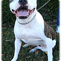 Adopt A Pet :: Sami purebred gal - Sacramento, CA