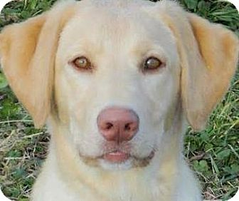 Dudley Gorgeous Pb Lab Puppy Adopted Puppy Winchester Ky Labrador Retriever