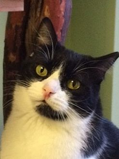 Domestic Shorthair Cat for adoption in Auburn, California - Sarah