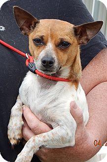 Chihuahua Dog for adoption in Burlington, Vermont - Tammy(9 lb) Precious Pea!