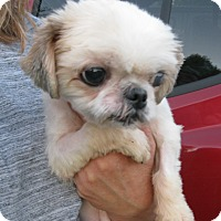 Adopt A Pet :: Dolly-adoption pending - Schaumburg, IL