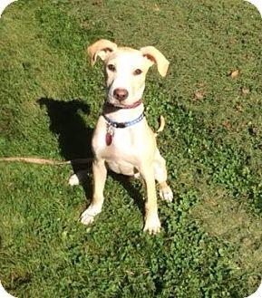 Labrador Retriever/Hound (Unknown Type) Mix Puppy for adoption in Lebanon, Maine - Casey