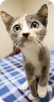 Domestic Shorthair Kitten for adoption in Montclair, New Jersey - Fox and Hound