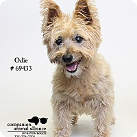 Cairn Terrier Mix Dog for adoption in Baton Rouge, Louisiana - Odie  (Foster Care)