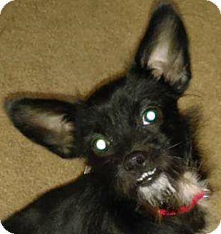 Terrier (Unknown Type, Small) Mix Puppy for adoption in Lexington, Kentucky - Franklin