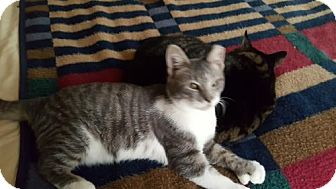 Polydactyl/Hemingway Kitten for adoption in Marlton, New Jersey - Ziggy