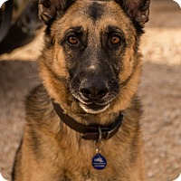 German Shepherd Dog Mix Dog for adoption in Phoenix, Arizona - Miller - (Moose)