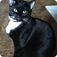 Domestic Shorthair Cat for adoption in Baltimore, Maryland - June