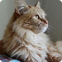 Maine Coon Cat for adoption in Santa Ana, California - Mimolette