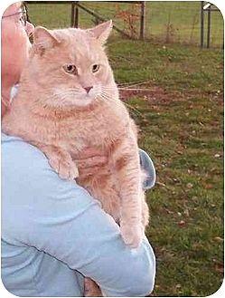 Domestic Shorthair Cat for adoption in Stuarts Draft, Virginia - Sherbert